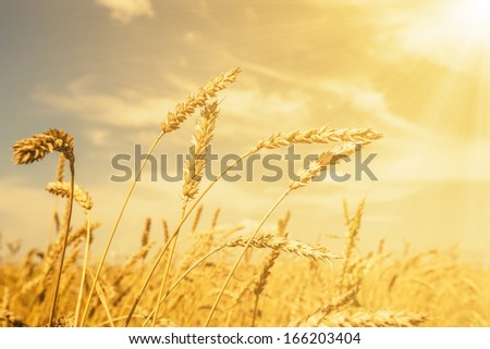 Wheat ears under golden shining and cloudy sky - stock photo