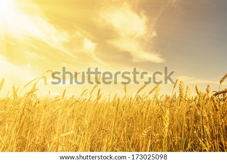 Wheat ears under golden shining and cloudy sky