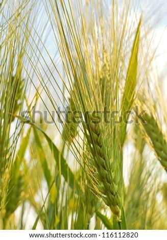 Wheat farming, outdoor shot - stock photo