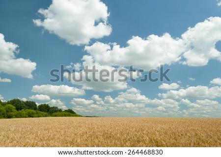 Wheat field. - stock photo