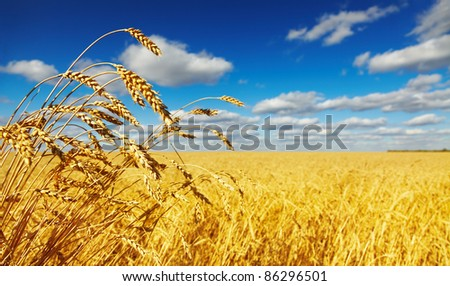 Wheat field - stock photo