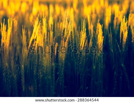 Wheat field - agricultural background with backlit effect. Golden wheat with bokeh blur at sunrise. Cereal plants in gold sunset light, soft focus. - stock photo