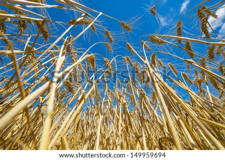 wheat field and a blue sky
