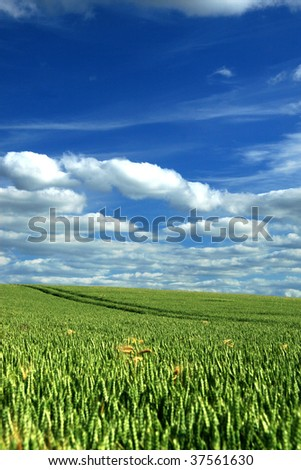 Wheat Field And A Blue Sky with clouds