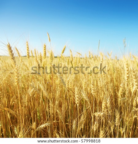Wheat field and blue sky. - stock photo