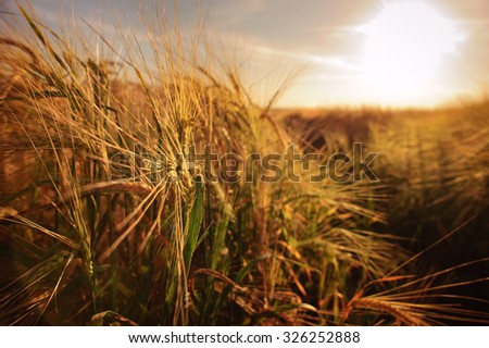 Wheat field and blue sky at countryside.