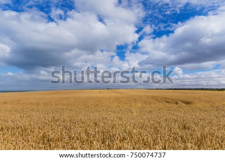 Wheat field and blue sky - nature background