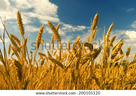 Wheat field and blue sky on sunny summer day.
