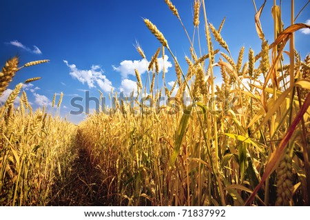 Wheat field and blue sky with clouds - stock photo