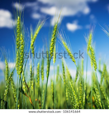 Wheat field and blue sky with white clouds. Agriculture scene - stock photo
