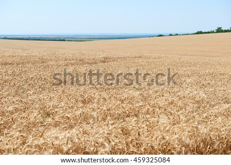 wheat field and clear sky, beautiful summer landscape - stock photo