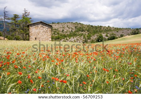 Wheat field and flowers in the Provence, France