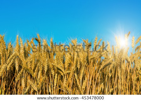 Wheat field and perfect blue sky background. A fresh crop of rye.  Rich harvest Concept. majestic rural landscape under shining sunlight. creative picture of nature - stock photo