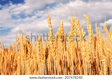 Wheat field and sky with clouds