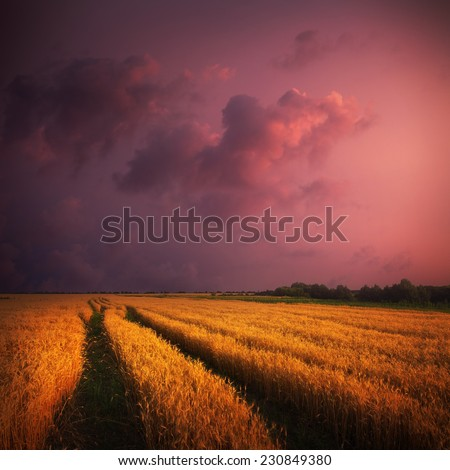 wheat field and sunset sky with clouds - stock photo
