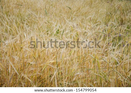 wheat field as a background - stock photo