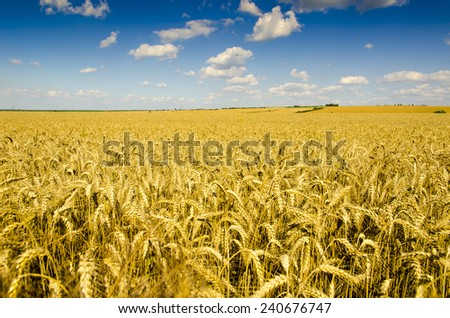 Wheat field at summer under blue sky