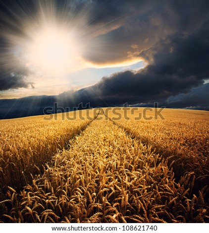 Wheat field at sunset with sun rays