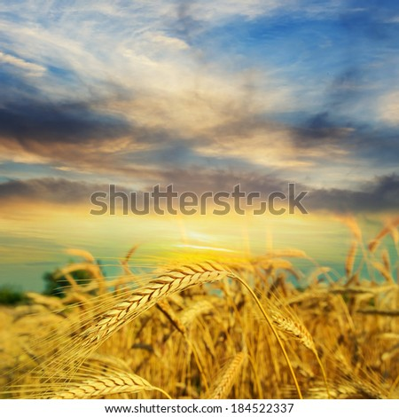 wheat field at the evening