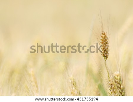 wheat field background and texture