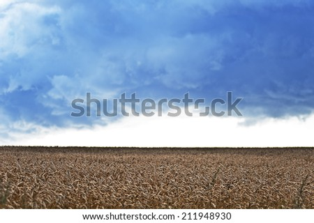wheat field before the storm