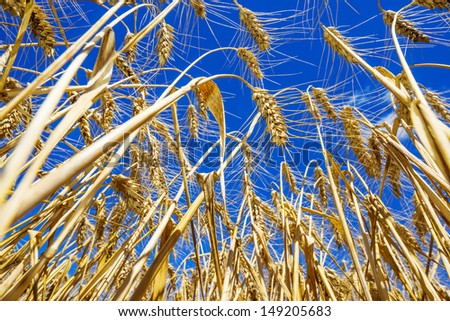 wheat field close up and blue sky