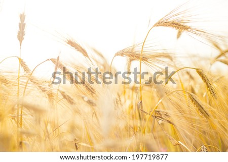 Wheat field close-up for your nature background.