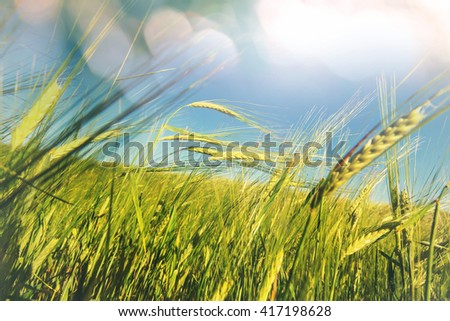 Wheat field, close up shot - stock photo