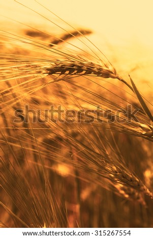 Wheat field closeup in the sunset - stock photo
