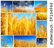 Wheat field collage conceptual collection of growth - stock photo