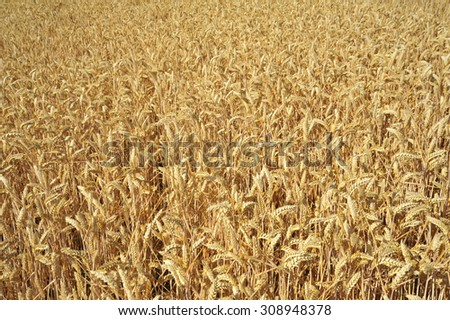 wheat field detail - stock photo