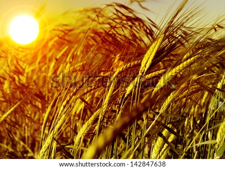 Wheat field. Detail ear of grain and sunset