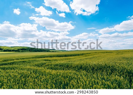 Wheat field . green field with ears of wheat in the summer