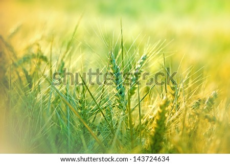 Wheat field - green wheat - stock photo