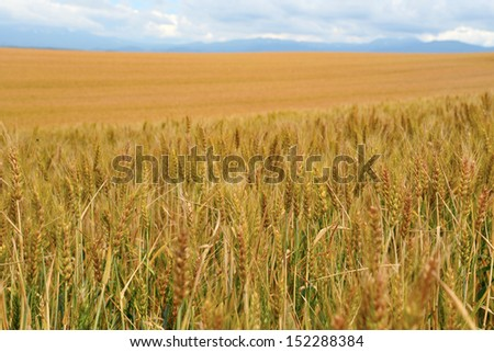 Wheat field in Biei, Japan.