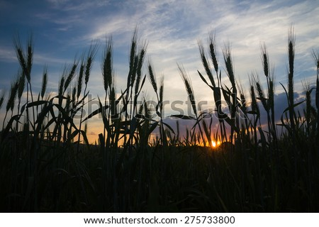 Wheat field in countryside agent sunset background - stock photo