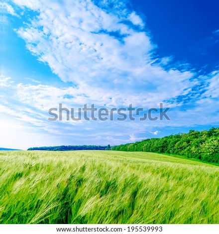 wheat field in early summer under the scorching sun