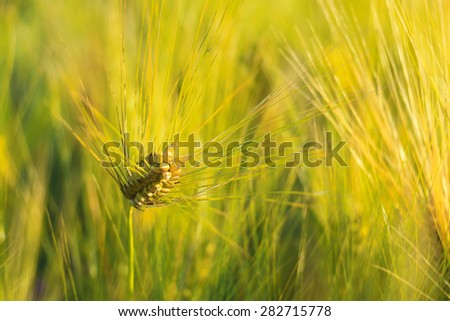 Wheat field in end of day,close up - stock photo