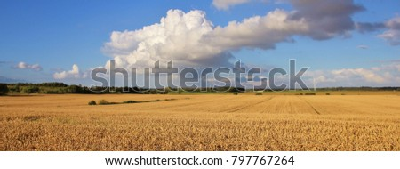 Wheat field in Jyllend, Denmark. Rural summer scene.
