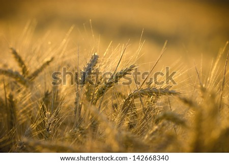 Wheat field in late afternoon - Rays of the setting sun over wheat field - stock photo