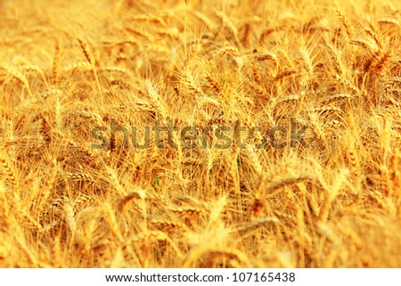 Wheat field in summer