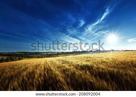 wheat field in sunset time