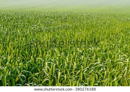 Wheat field in the early spring - stock photo