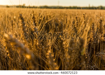 Wheat field in the summer.