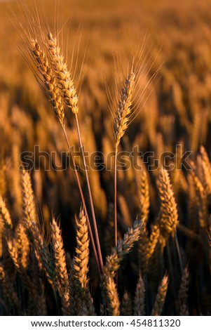 Wheat field in the sunset. golden ears of wheat or rye. close up, under shining sunlight. Rich harvest Concept. majestic rural landscape. retro style. vintage filter - stock photo