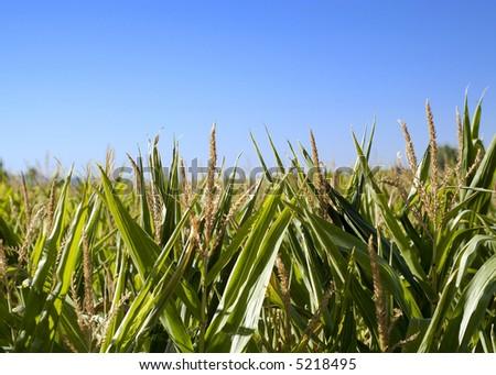 Wheat field in Villarquemado, Spain. - stock photo