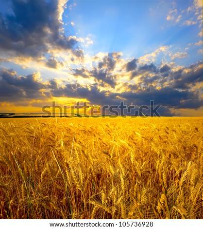 wheat field landscape - stock photo