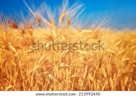 Wheat field landscape, closeup on a rye over blue sky, agriculture industry, beauty of nature at autumn, harvest season - stock photo