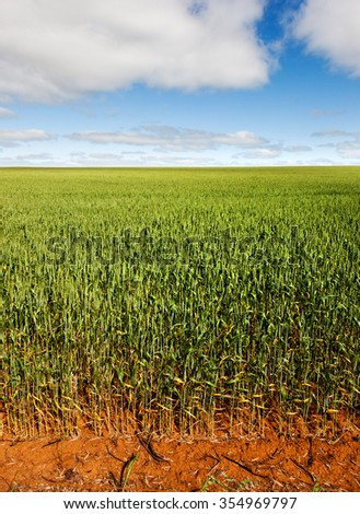 Wheat field near Renmark, australia. Farms are very large