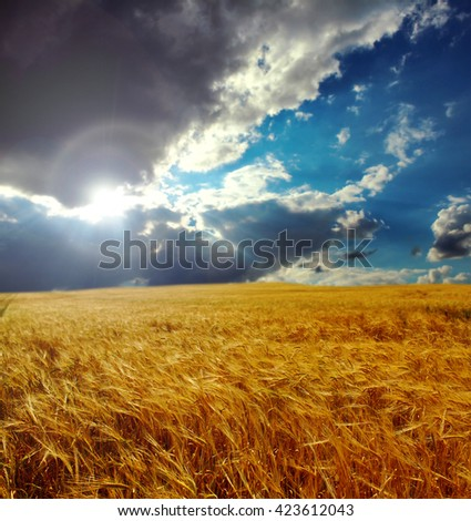 Wheat field on a background of blue sky and sun